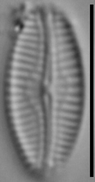 Pseudofallacia monoculata LM4