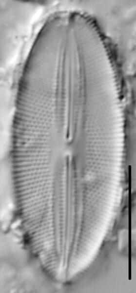 Fallacia pygmaea LM4