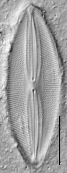 Fallacia pygmaea LM1