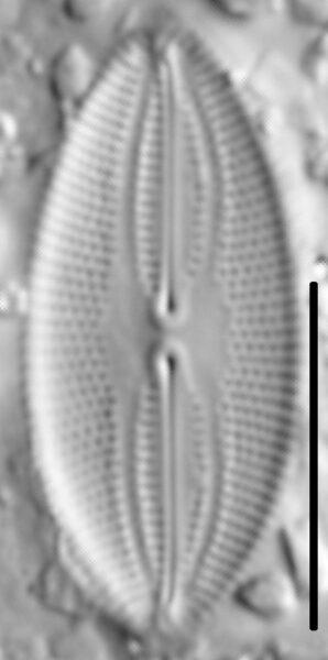 Fallacia pygmaea LM6