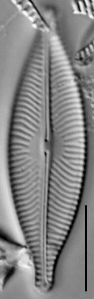 Navicula salinarum LM1