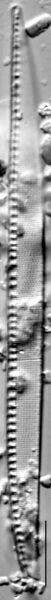 Nitzschia sigma LM3