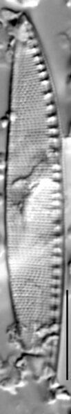 Nitzschia sigma LM1