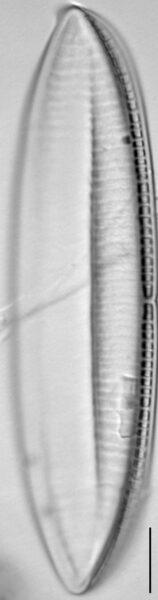 Tryblionella gracilis LM3