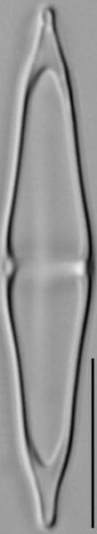 Stauroneis smithii var incisa LM3