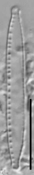 Nitzschia palea var tenuirostris LM4
