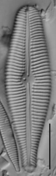 Gomphoneis eriense var variabilis LM2