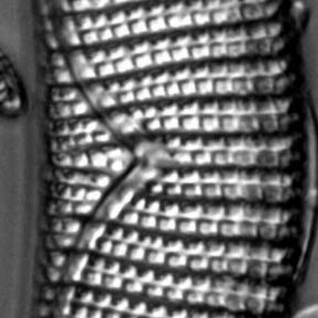 Placoneis amphibola LM1
