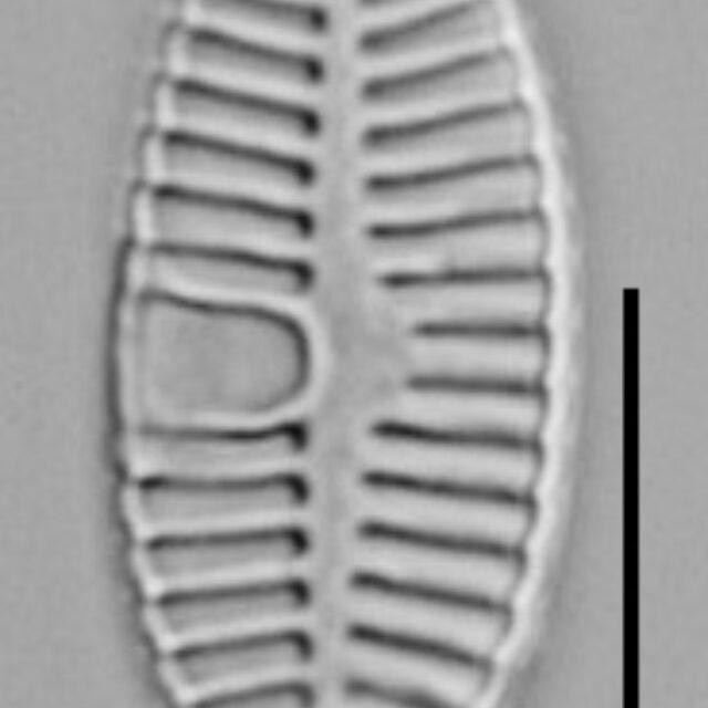 Placoneis abiskoensis LM4