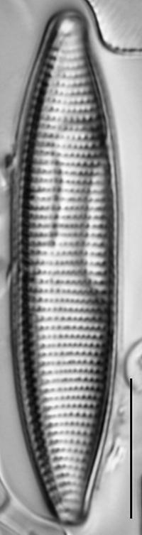 Nitzschia angustata LM7