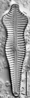 Acuminatum Gc109928B004