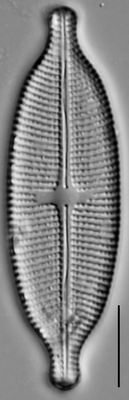 Aneumastus Pseudotuscula LM3