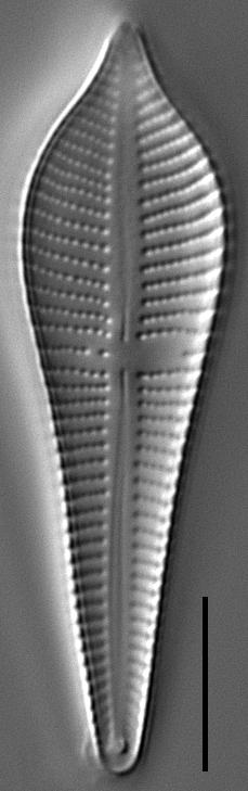 Gomphonema apicatum LM1