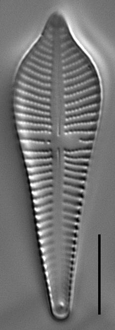 Gomphonema apicatum LM3