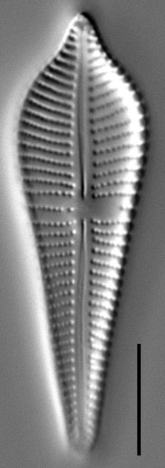 Gomphonema apicatum LM4