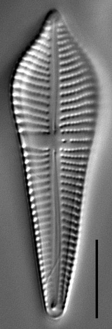 Gomphonema apicatum LM5