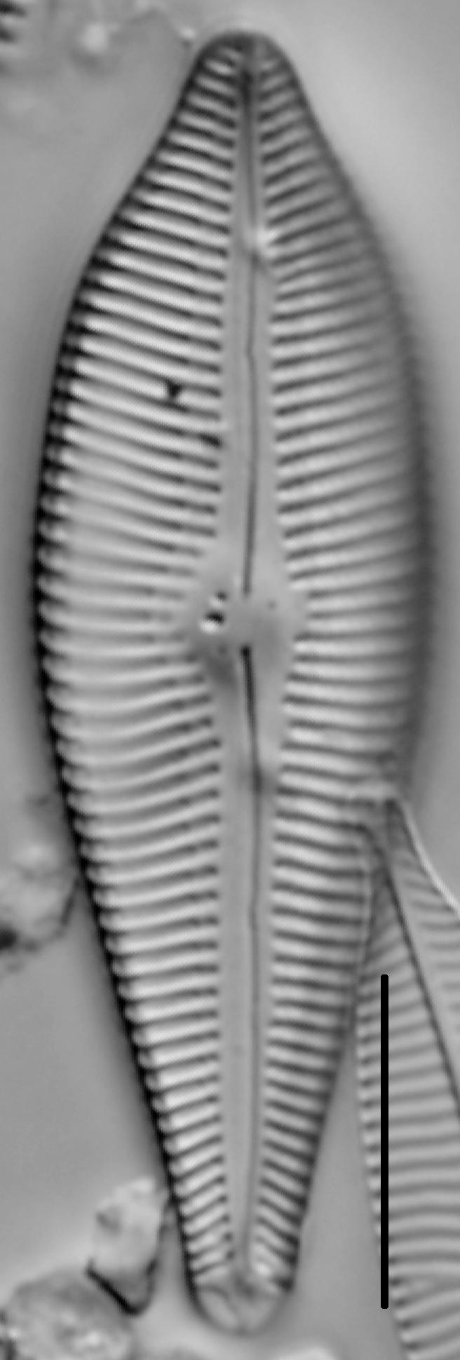 Gomphoneis eriense var. apiculata LM3