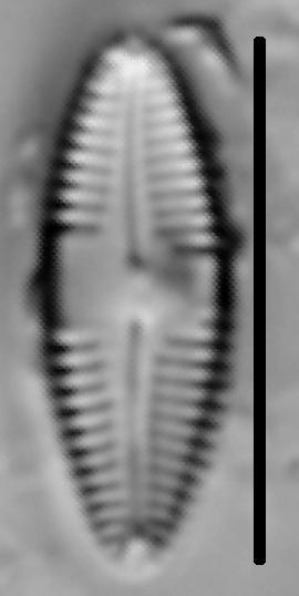 Caloneis Bacillum 003
