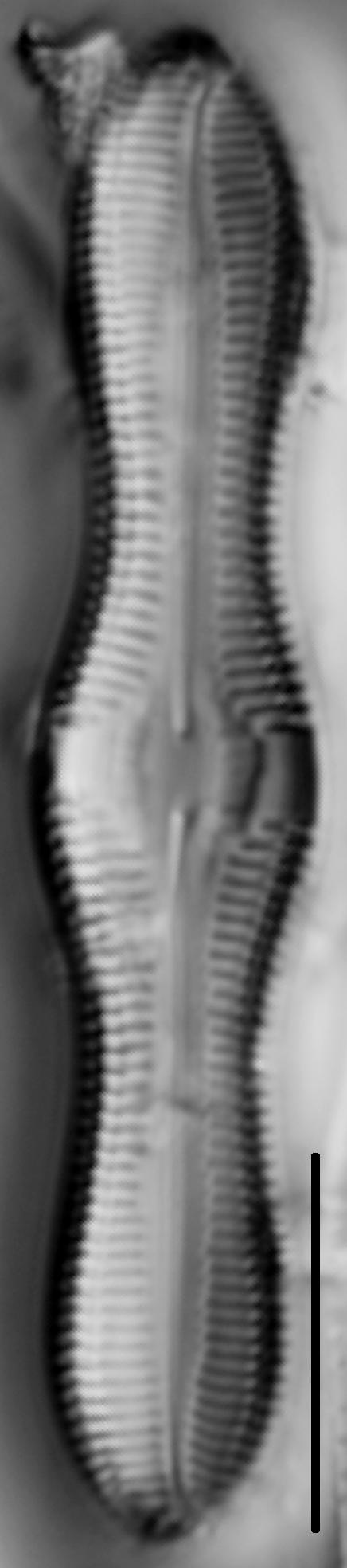 Caloneis Silicula 004