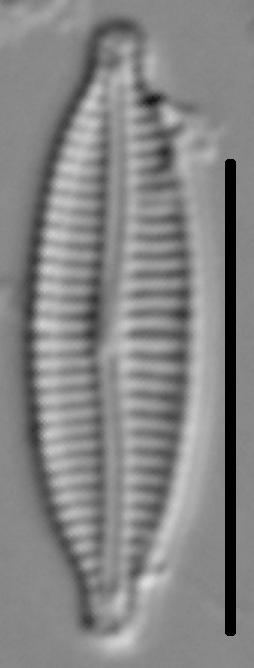 Encyonemopsis Subminuta 006