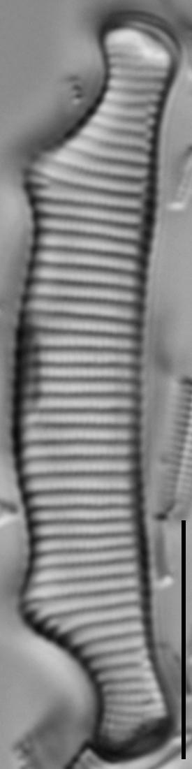 Eunotia bactriana LM7