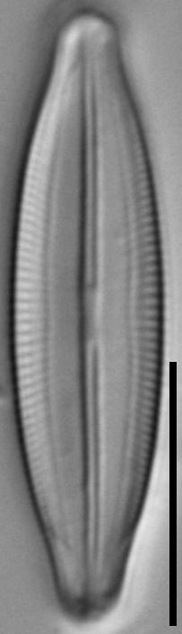 Fallacia vitrea LM6