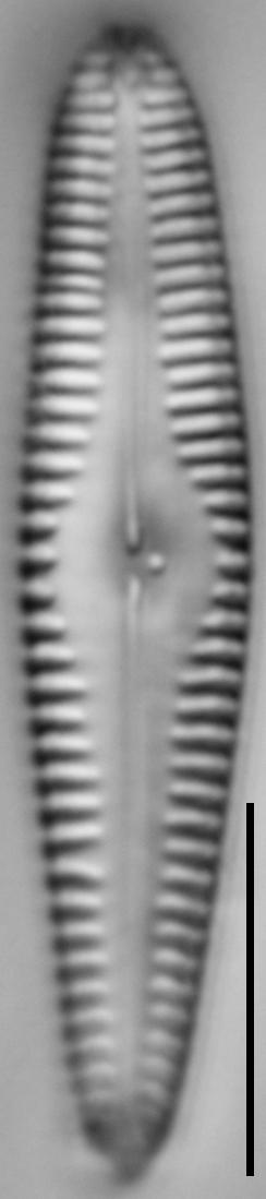 G Amerhombicum  B Isotype 20170301 09 Cl
