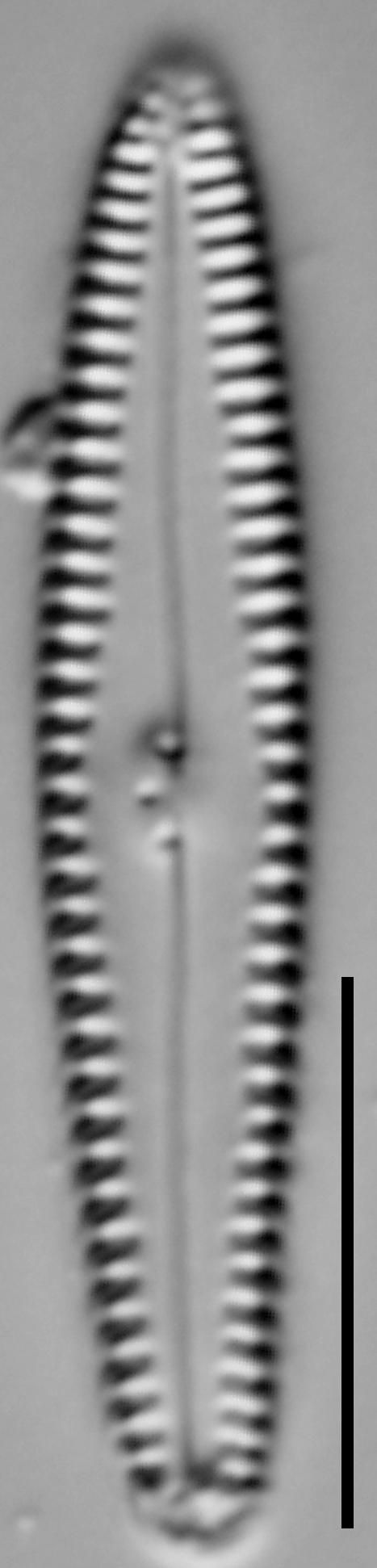 G Caperatum 15558A 08132015 56 Cl