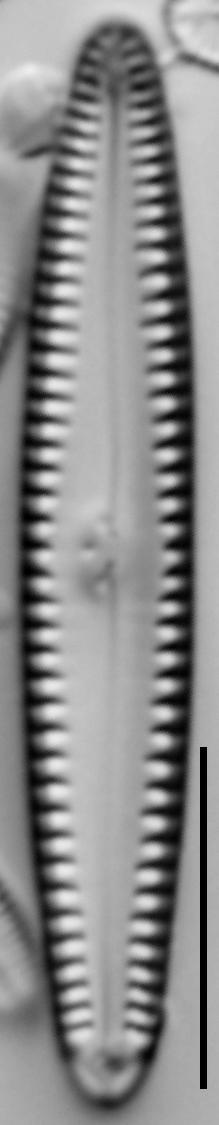 G Caperatum 15576A 08142015 08 Cl