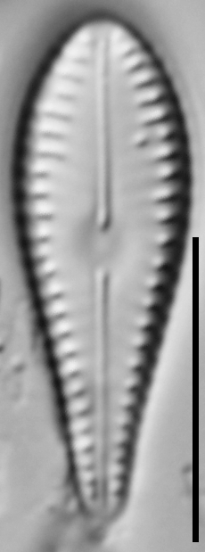 G Lingulatiformis 15540A 09172015 30 Cl