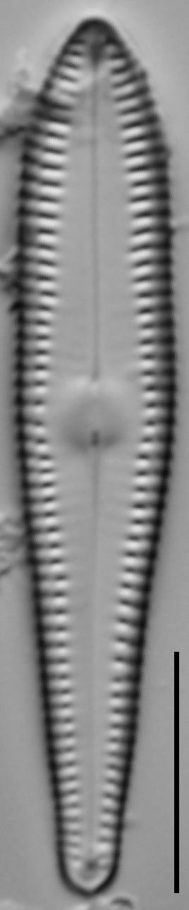 G Lingulatiformis 15588A 08172015 16 Cl
