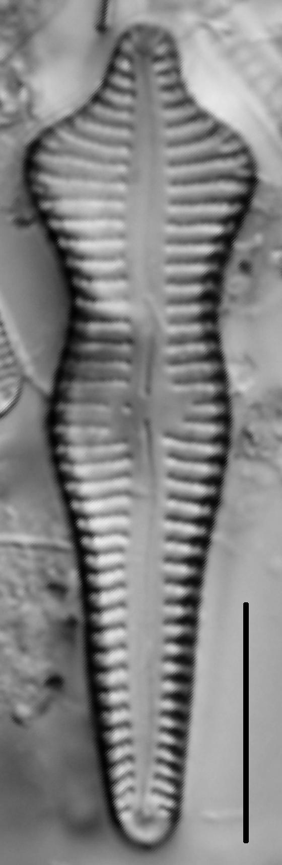 Gomphonema Acuminatum 004