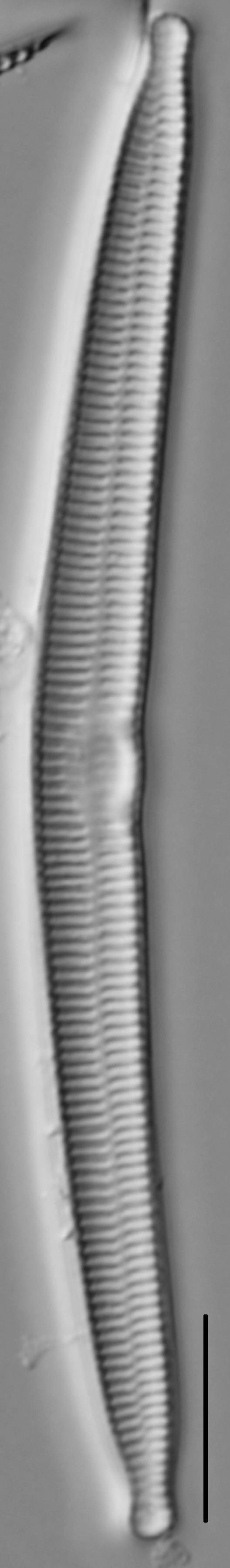 Hannaea arcus LM1
