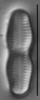 Humidophila undulata LM2
