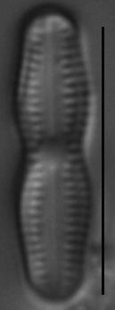 Humidophila undulata LM3