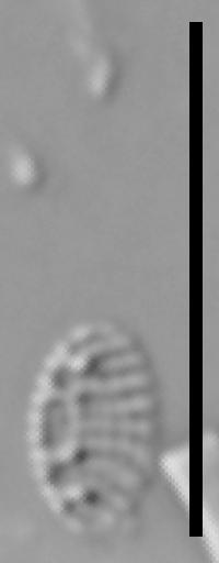 Nitzschia soratensis LM4