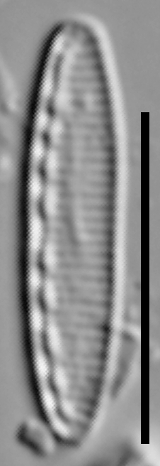 Nitzschia soratensis LM5