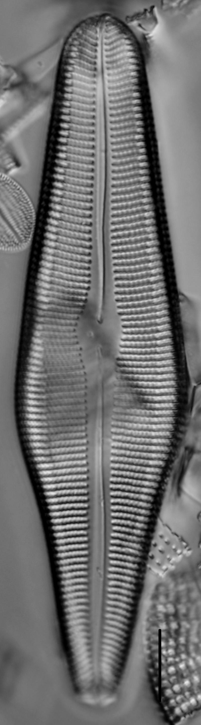 Gomphoneis herculeana var. lowei LM6