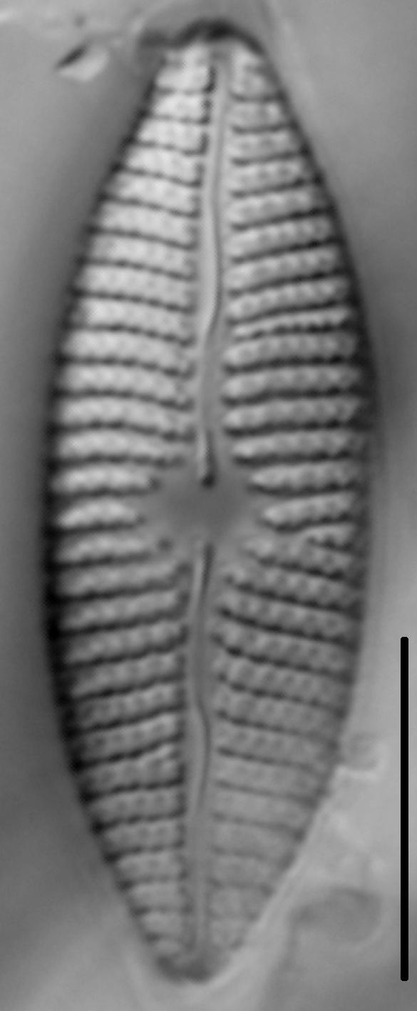 Mastogloia grevillei LM3