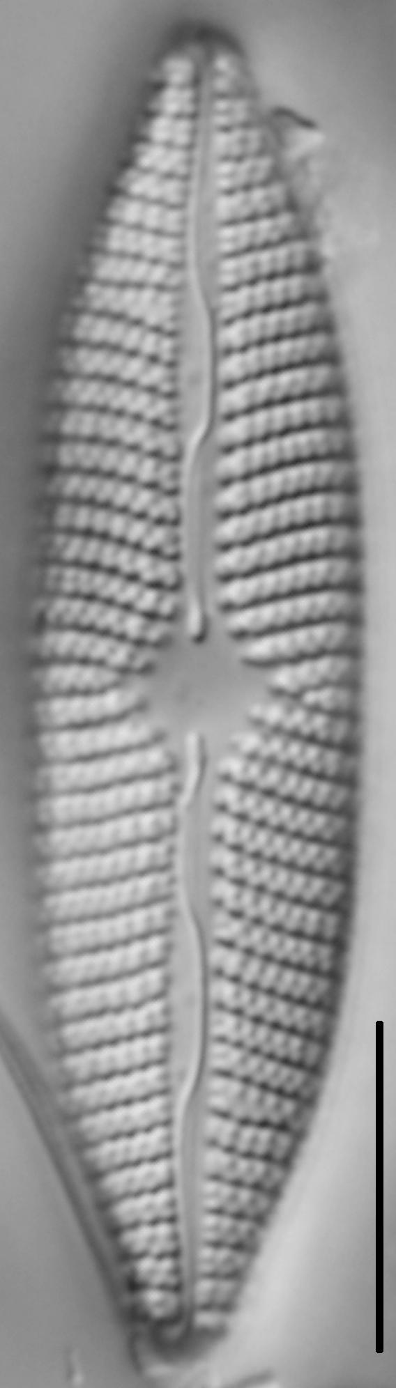Mastogloia grevillei LM4