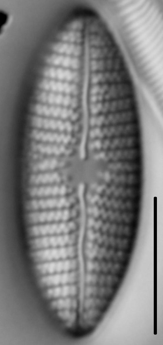 Mastogloia grevillei LM7