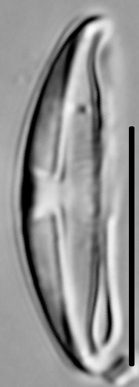Halamphora montana LM6
