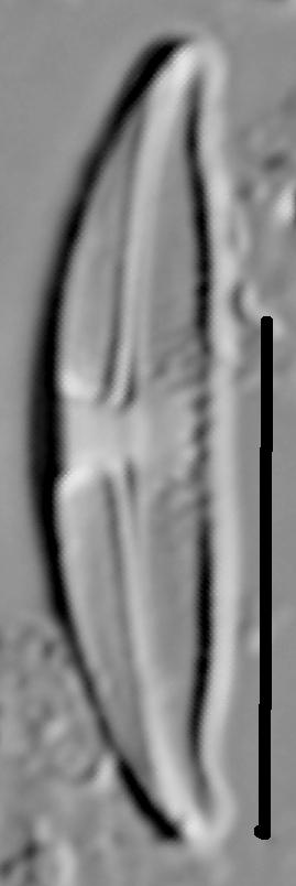 Halamphora montana LM3