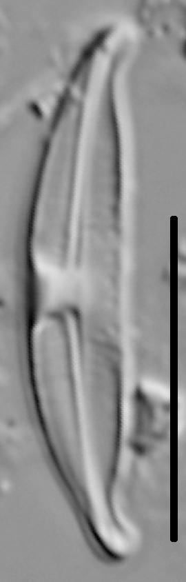 Halamphora montana LM1