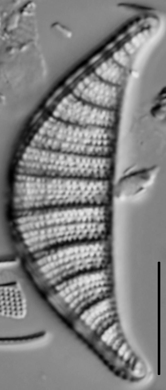 Rhopalodia musculus LM1