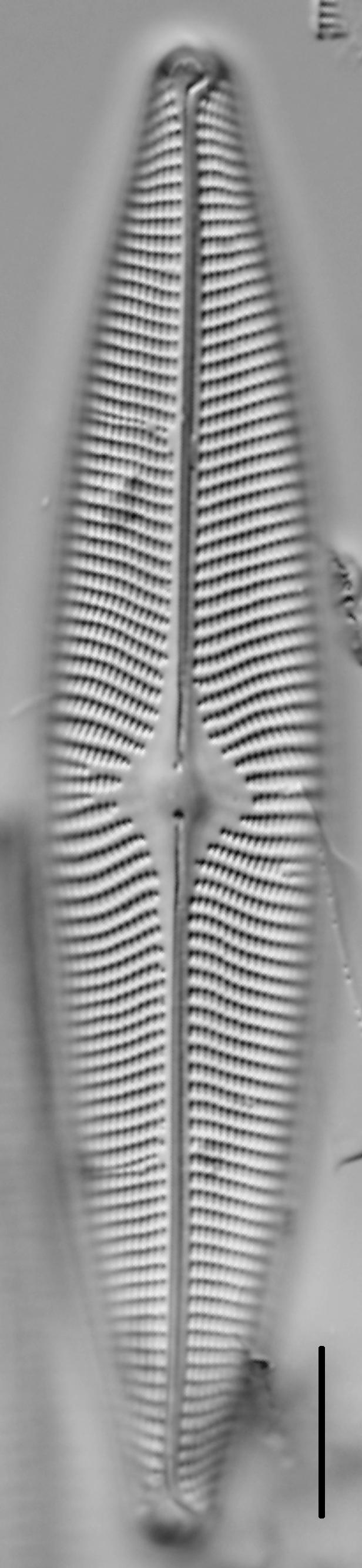Navicula vulpina LM5