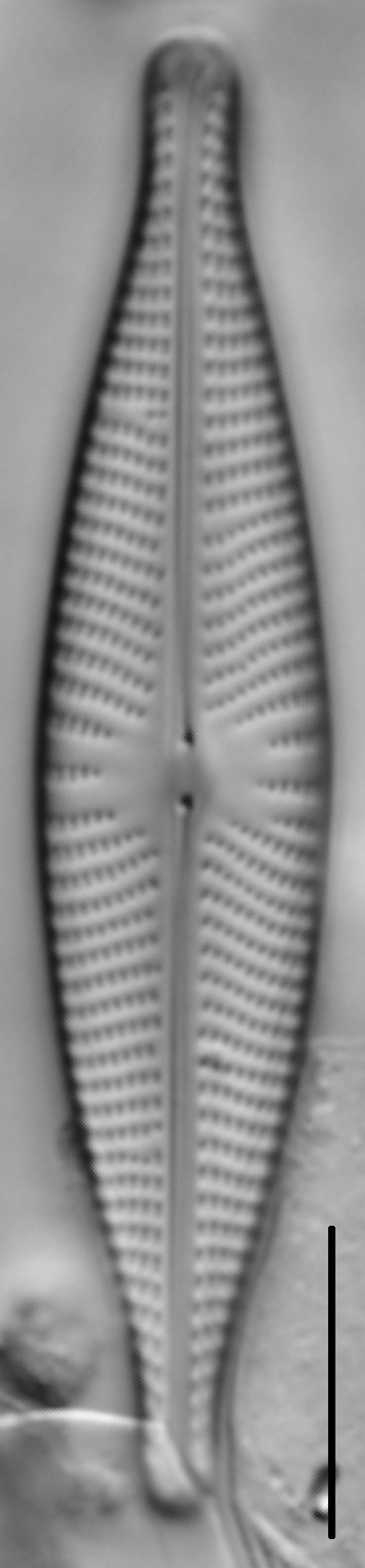 Navicula rhynchocephala LM5