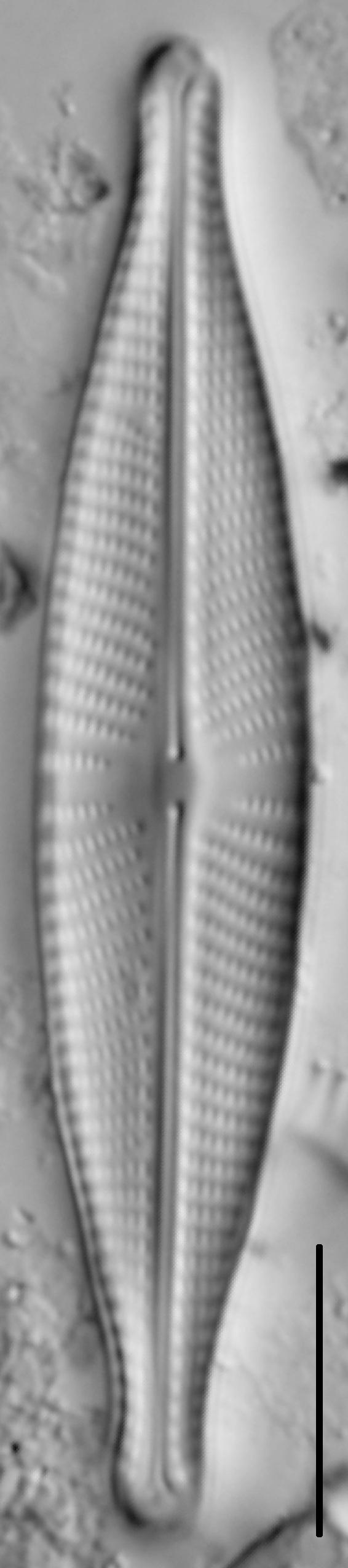 Navicula rhynchocephala LM2