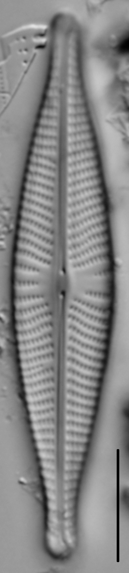 Navicula rhynchocephala LM1