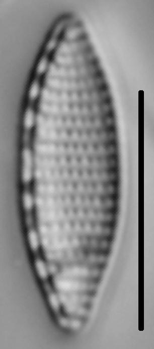 Nitzschia amphibia LM4